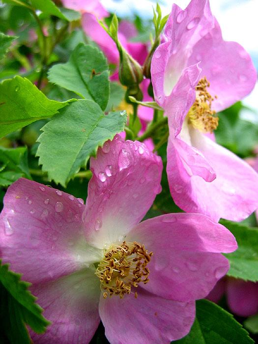 Шиповник цветы растения