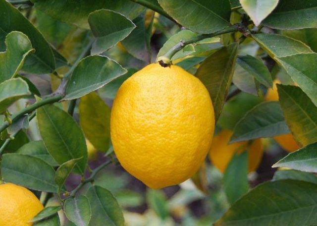 лимон и холестерин