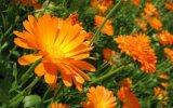 Календула (ноготки) в народной медицине - польза растений