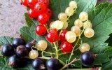 Смородина красная, черная, белая – рецепты заготовок
