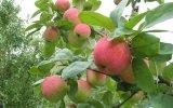 Листья яблони для голоса