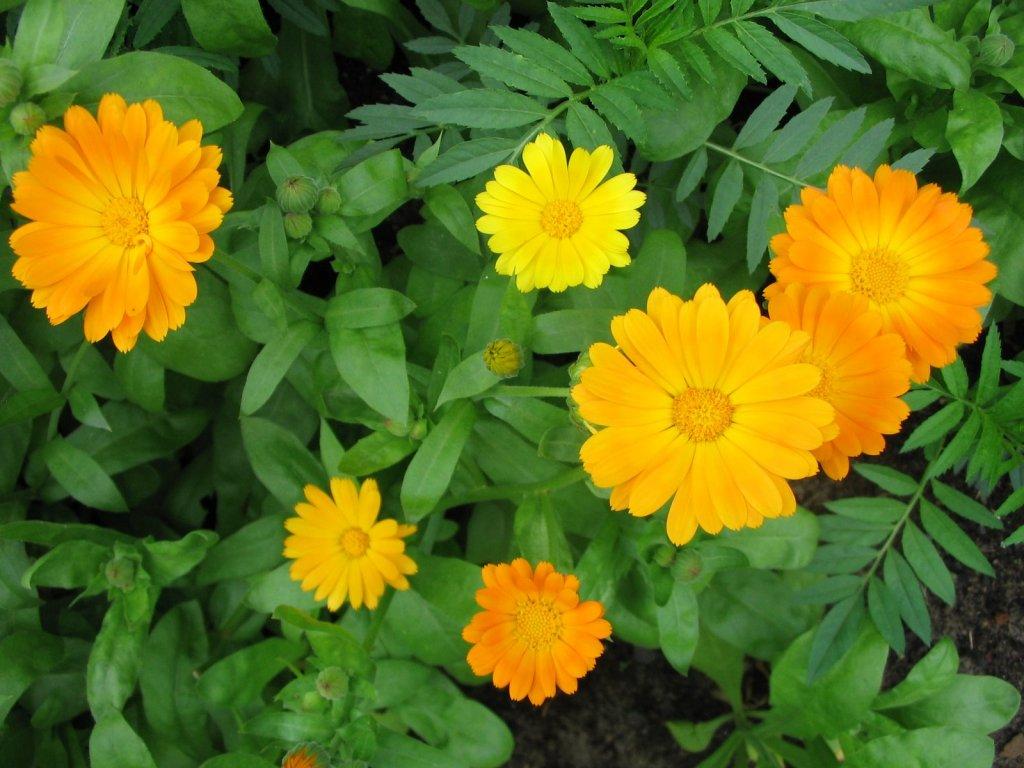 Ноготки цветы картинки 8