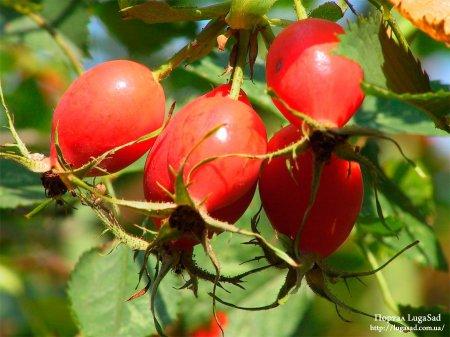 Плоды шиповника на кусте