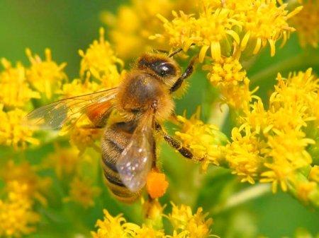 Пчела с собранной пыльцой