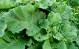 Лопух (листья)
