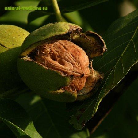 Молодые ветви грецкого ореха